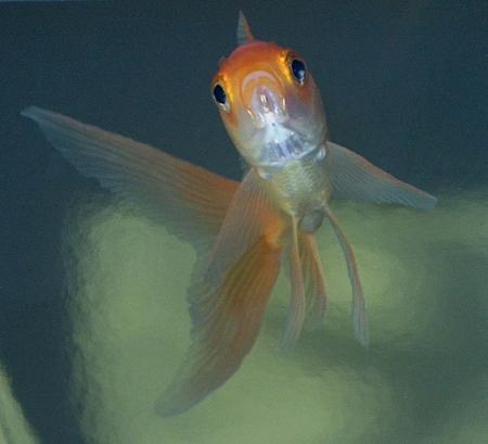 Les ailes du poisson rouge zone 640 x 480 for Nom poisson rouge