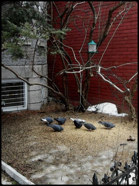 Pigeons à Montréal