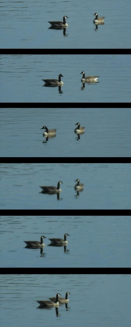 oies bernaches au Lac Lambert