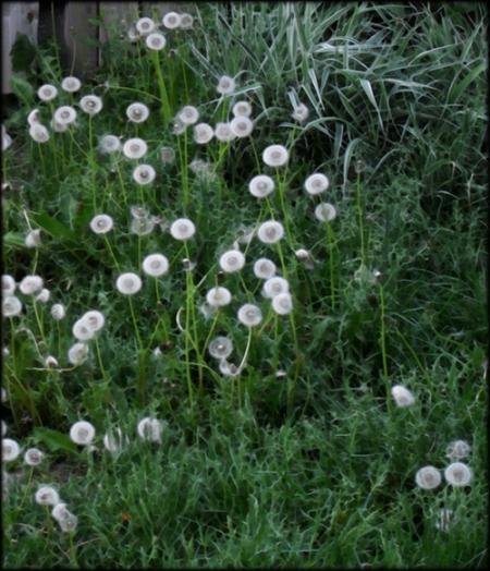 Printemps, pissenlits en fleur
