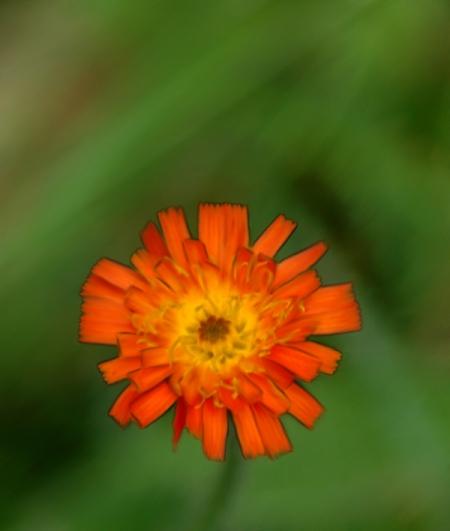 fleur sauvage du québec