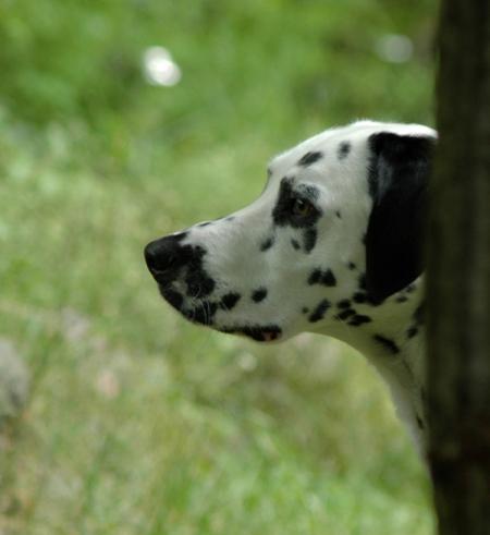 Léo le dalmatien, 2 ans