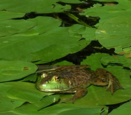 la grenouille au lac lambert