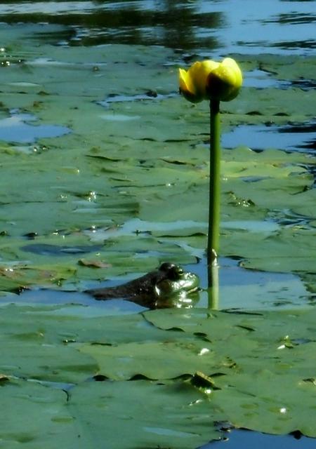 Grenouille et nénuphars au lac lambert