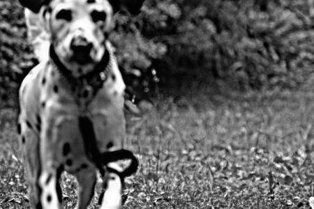 Léo, dalmatien de deux ans