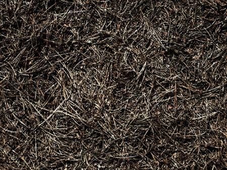 Aiguilles de pin séchées